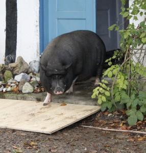 Ottos første skridt i det fri i hans nye hjem